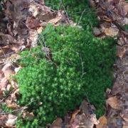 Image d'une plante poussant à ras le sol plein de feuilles mortes