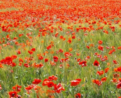 Photo d'un grand champs de coquelicots