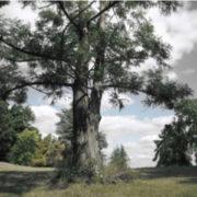 Photo d'un arbre majestueux et solitaire, au milieu d'une clairière