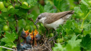 Photo d'une mère oiseau donnant la becquée à ses petits