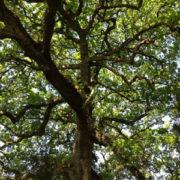 Photo d'un arbre feuillu, dont les nombreuses branches s'étendent dans toutes les directions