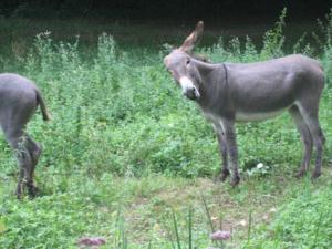 Photo d'un âne, de profil, la tête tournée vers l'objectif, et devant lui, de l'arrière-train d'un autre âne
