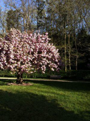 Photo d'un cerisier en fleur, à l'aise dans un parc verdoyant