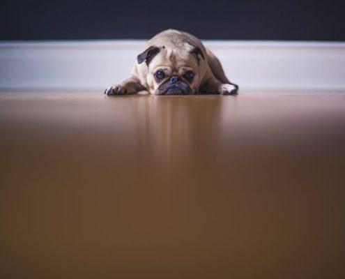 Photo d'un chien couché fixant l'objectif