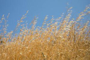 Photos d'Herbes jaunes sous un ciel bleu