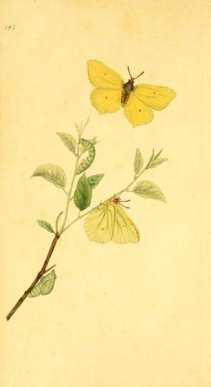 Gravure représentant les différents stades de développement du papillon. Sur une tige se trouvent la chenille, la chrysalide et le papillon, ailes pliées. Au-dessus, un deuxième papillon prend son envol.