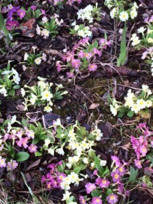 Photographie de primevères sortant d'un sol de sous-bois