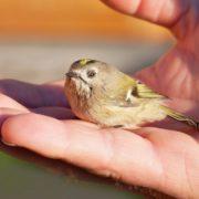 Photographie d'un oisillon posé au creux d'une main.