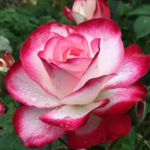 Photo en gros plan d'une belle rose épanouie, blanche et rose