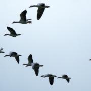 Photographie d'un groupe d'oiseaux migrateurs volant en formation en V.