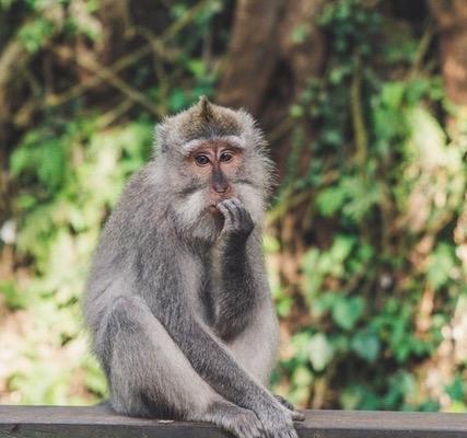 Photo d'un singe dont la posture évoque le doute