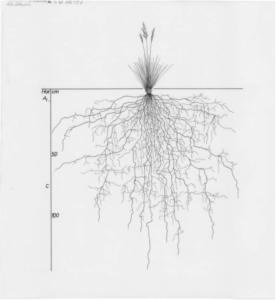 Illustration botanique herbe et racine noir et blanc